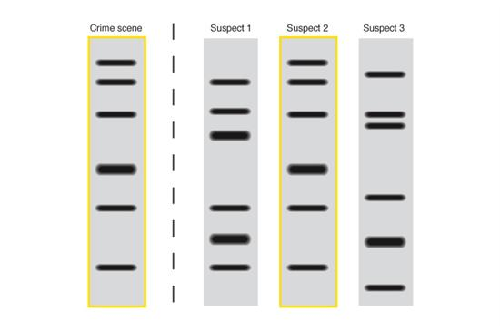 the characteristics of dna fingerprinting technique in criminal profiling New dna profiling technology could tell police who  dna fingerprint that can then sent  number of steps in the dna profiling process to.